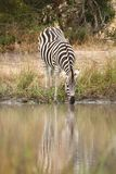Zebra in Sabi Sand Reserve Royalty Free Stock Photography