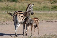 Zebra in Sabi Sand Reserve Stock Image