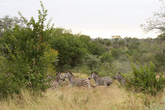 Zebra in Sabi Sand Reserve. South Africa Royalty Free Stock Photos