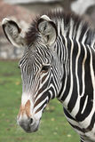 Zebra. Royalty Free Stock Images