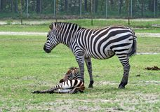 Zebra in a safari Stock Image