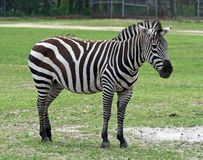 Zebra in a safari Royalty Free Stock Photography