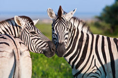 Zebra on Safari. Two zebras seem to kiss on the african plains at sunset Stock Images