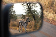 Zebra on safari Royalty Free Stock Photos