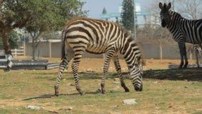 Zebra Royalty Free Stock Photography