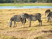 Zebra. Safari in Kenia Scenic Zebra Royalty Free Stock Photos