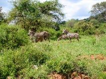 Zebra. Safari in Kenia Scenic Zebra Stock Image