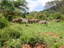 Zebra. Safari in Kenia Scenic Zebra Royalty Free Stock Photo