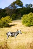Zebra on safari in Kent. Photograph of a zebra in Port lympne zoo safari in Kent, England Stock Photos