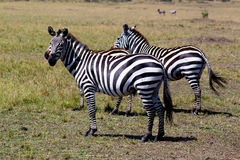 Zebra - Safari Kenya. Some zebras watching us, in Kenya Stock Photography