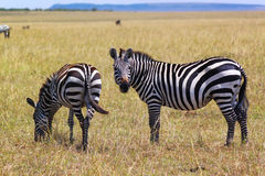 Zebra - Safari Kenya. Two wonderful zebras photographed while they were munching Amboseli, in Kenya Stock Photography