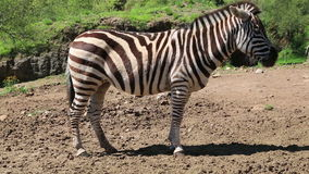 Zebra in a safari park in South Africa. stock video