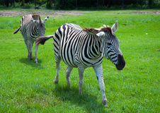 Zebra in safari Stock Image