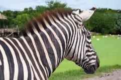 Zebra in safari Stock Image