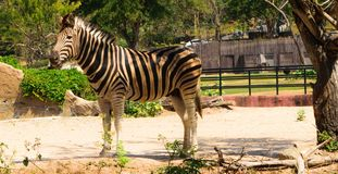 Zebra. Safari in thailand royalty free stock images