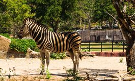 Zebra. Safari in thailand stock photography