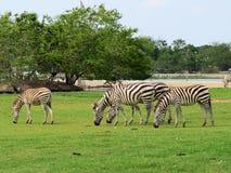 Zebra in safari. Stock Photos