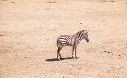 Zebra in safari world, Bangkok Thailand. Waiting zebra in safari world zoo Bangkok Thailand Royalty Free Stock Photography