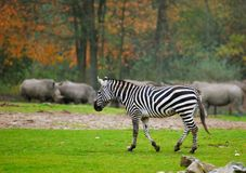 Zebra in safaripark Stock Afbeeldingen