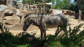 Zebra. San Diego zoo zebra royalty free stock image