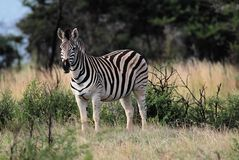 Zebra in savanna Royalty Free Stock Photos