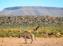 Zebra in savanna against the mountain Stock Photo