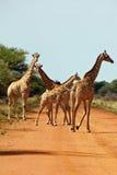 Zebra, Savanna, Namibia Stock Photography