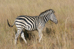 Zebra in the savanna Royalty Free Stock Images