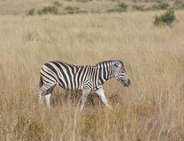 Zebra in the savanna Stock Photo