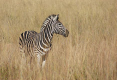 Zebra in the savanna Royalty Free Stock Photos