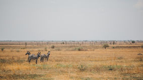 Zebra on Savanna Royalty Free Stock Image