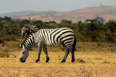 Zebra in savanna Stock Image