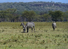 Zebra in the savannah Stock Images