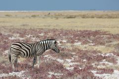 Zebra in the savannah Stock Photo