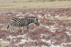 Zebra in the savannah Royalty Free Stock Images