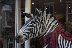 Zebra in scarf. In shop window display Royalty Free Stock Images