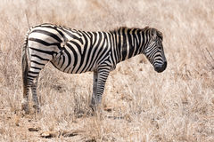 Zebra with scars from predator attack Royalty Free Stock Photos