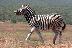 Zebra Scenting Air Stock Photography
