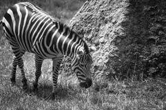 Zebra in Schwarzweiss Lizenzfreies Stockfoto