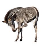 Zebra scratching its nose. Grevy's zebra scratching its nose, isolated on white with clipping path included Stock Image