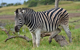 Zebra scratching post. A male zebra using a dead tree branch as a scratching post, in Tala Game Reserve, KZN, South Africa Stock Photo