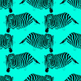 Zebra seamless pattern on blue background. Stock Images