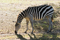 Zebra searching for food Stock Images