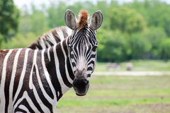 The Zebra see& x27;s you! Stock Images
