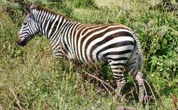 Zebra seen on safari in the NgoroNgoro Conservation Area near Arusha, Tanzania Royalty Free Stock Photography