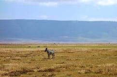 Zebra seen on safari in the NgoroNgoro Conservation Area near Arusha, Tanzania Stock Photo