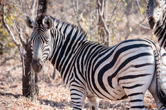 Zebra is seen among trees at the Kruger National Park Stock Photo