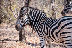 Zebra is seen among trees at the Kruger National Park Royalty Free Stock Photography