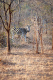 A Zebra is seen among trees at the Kruger National Park Royalty Free Stock Photos