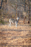 A Zebra is seen among trees at the Kruger National Park Stock Photography